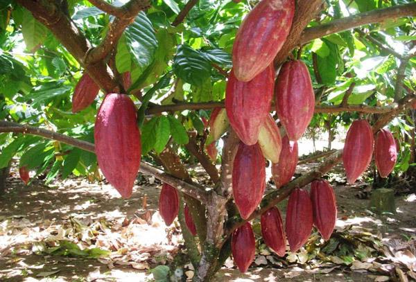 Kebun Kakao